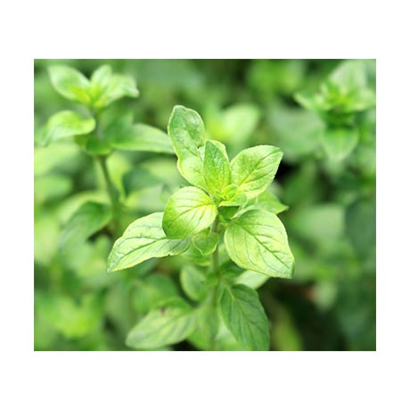 Green Oregano Oil